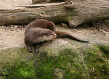 Otter is having a rest Stock Photography