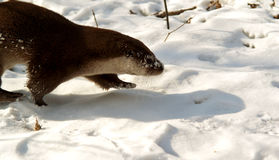 Otter in het de winterbos Stock Foto's