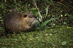 Otter het eten Stock Foto's