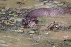 Otter het zwemmen royalty-vrije stock foto's