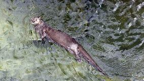 Otter het zwemmen Stock Afbeelding