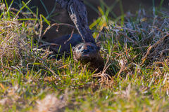 Otter hiding in the grass Stock Photography
