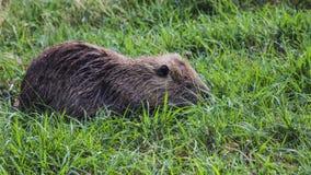 Otter an Hula-Tal lizenzfreie stockfotografie