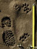 Otter and humans. Otter and human fresh tracks on mud in Buzau river Valley with meter to understand the size Stock Photo