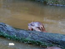 Otter hunting and eating fish nearby a log in the pond royalty free stock images