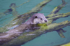 Otter im Wasser Lizenzfreies Stockbild