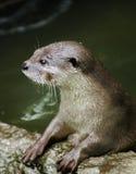 Otter im Zoo Stockbilder