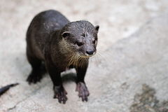 Otter in its habitat Royalty Free Stock Photos