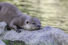 Otter laying down on river bank Royalty Free Stock Photography