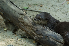 Otter on log Stock Photography