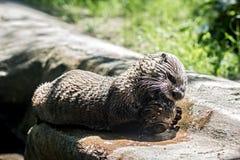 Otter (Lontra-canadensis) gevangen vissen Royalty-vrije Stock Fotografie