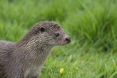 An otter looking to the right Stock Image
