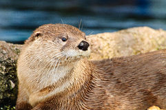 Otter looking to the right Stock Image