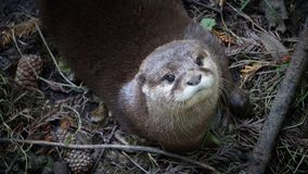 Otter looking up
