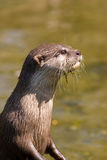 Otter. On the lookout for a prey Stock Photo