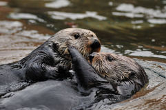 Otter Love royalty free stock photos