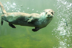 Otter. Loves showing off in front of people stock photo