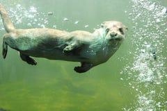 Otter Stock Photo
