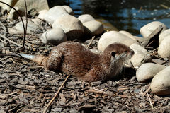 Otter (Lutra lutra). Near water Royalty Free Stock Images