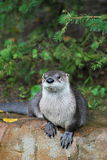 Otter (lutra lutra). Portrait of the Otter (lutra lutra) in captivity Stock Photo