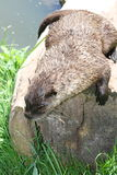 Otter (Lutra lutra). A living in freedom otter sitting on tree trunk royalty free stock image