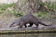 Otter, Lutra-lutra stock fotografie