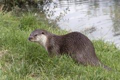 Otter (Lutra Lutra) stockfotografie