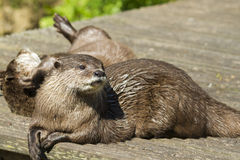 Otter( Lutra lutra) Royalty Free Stock Image