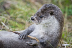 Otter Royalty Free Stock Images