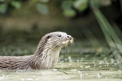 Otter, Lutra lutra Royalty Free Stock Photo