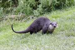 Otter, Lutra lutra Stock Photo