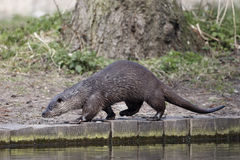 Otter, Lutra lutra Stock Photography
