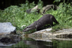 Otter, Lutra lutra Royalty Free Stock Images
