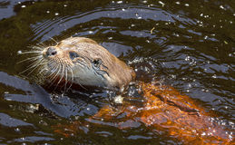 Otter - Lutra lutra Royalty Free Stock Photos
