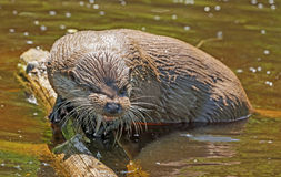 Otter - Lutra lutra Stock Photo
