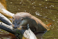 Otter - Lutra lutra Stock Photography