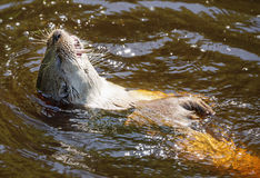Otter - Lutra lutra Royalty Free Stock Images