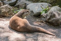 Otter lying on the rocks royalty free stock photo