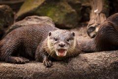 Otter, Mammal, Fauna, Mustelidae royalty free stock image