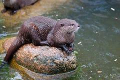 Otter, Mammal, Fauna, Mustelidae stock image