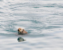 Otter Mirror 1. An otter casts it reflection in the water of Prince William Sound Stock Image