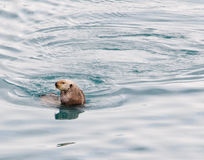Otter Mirror 2. An otter casts it reflection in the water of Prince William Sound Royalty Free Stock Photo