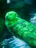 Otter mit der Persönlichkeit, die mit Schwarzwasser aufwirft Stockbild
