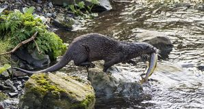 Otter mit einer netten sortierten Forelle lizenzfreie stockfotografie