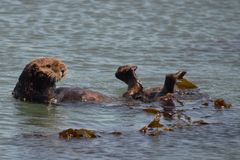 Otter mit Kopf und Füßen oben Lizenzfreies Stockfoto