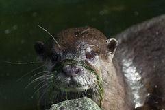 Otter model with pretty face. Otter with grass on her face Stock Image