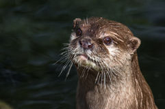 Otter model with pretty face. Otter after undiving from water Stock Photography