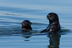 Otter Mom and Pup. In Monterey Califormia Royalty Free Stock Image