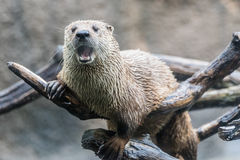 Otter with Mouth Open Royalty Free Stock Photography