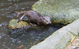 Otter. stock images